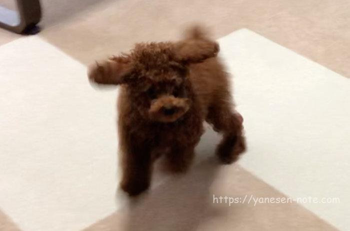トイプードル 子犬 フローリング