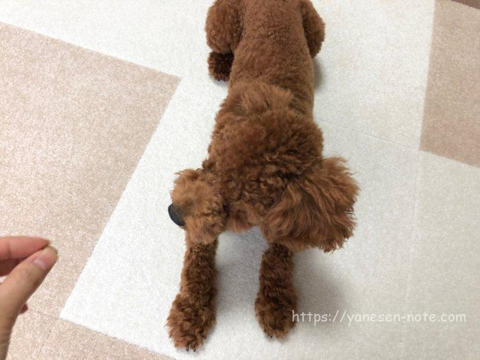 犬 ゴロン 教え方