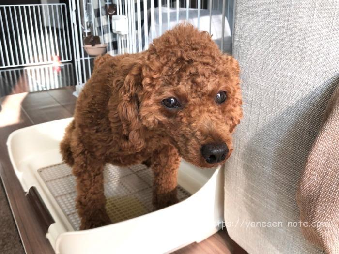 犬 トリミング 自宅 バリカン