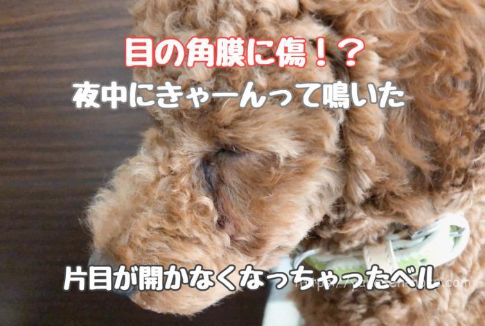 犬 角膜 傷