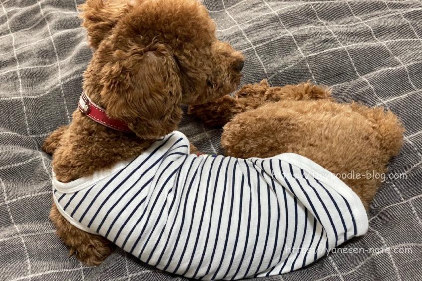 トイプードル 人間のベッド
