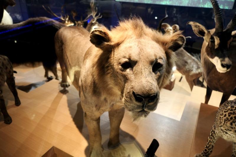 国立科学博物館 地球館 ライオンはく製