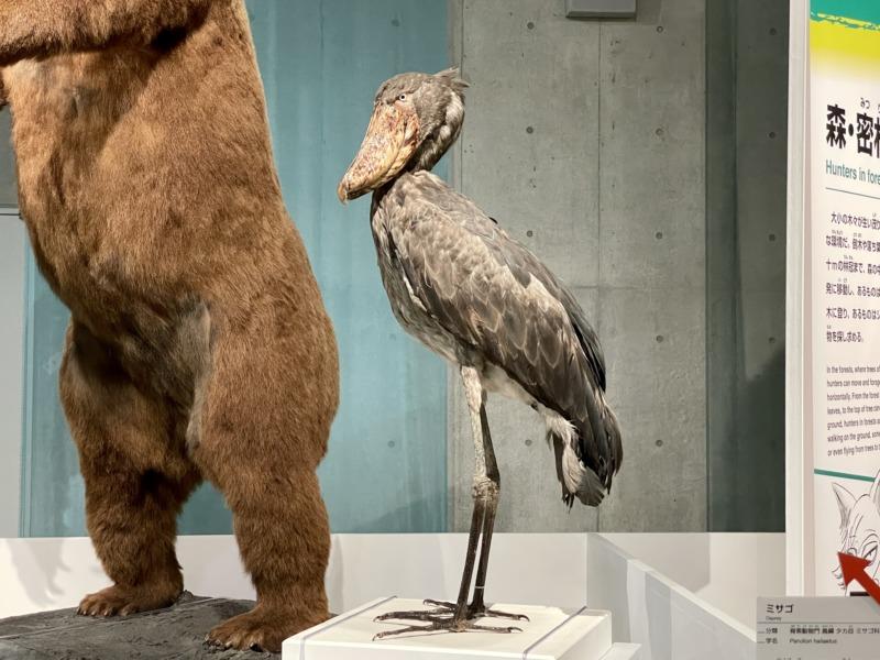 国立科学博物館 大地のハンター展 ハシビロコウ